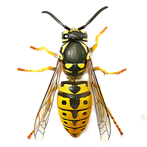 Key West Wasp Exterminator - Leeds, West Yorkshire, United Kingdom